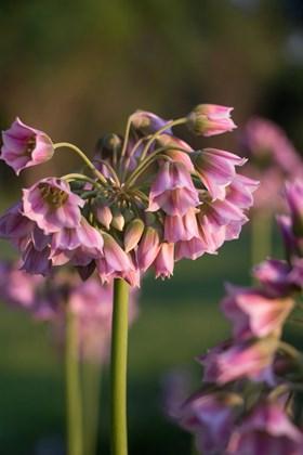 Allium (Nectaroscordum) tripedale