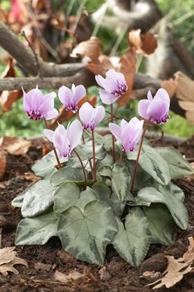 Cyclamen hederifolium Silver Leaf
