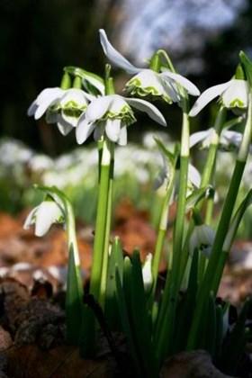 Galanthus Bagpuize Virginia