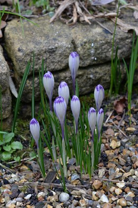 Crocus heuffelianus Harry Hay
