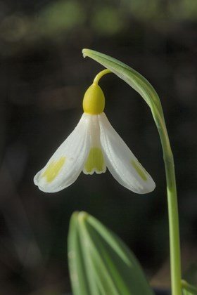Galanthus Golden Fleece
