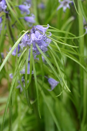 Hyacinthoides non-scripta bracteata blue