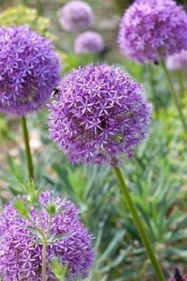 Allium Round and Purple