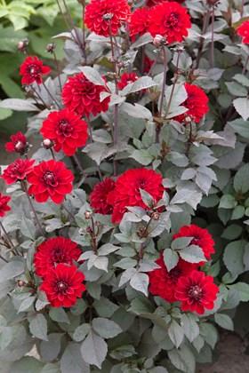 Dahlia Pacific Roodbladig