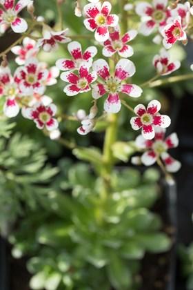 Saxifrage Southside Seedling