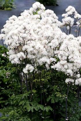 Thalictrum Nimbus White