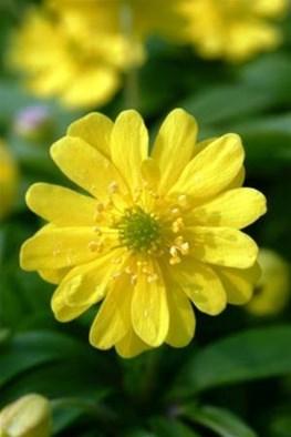 Anemone ranunculoides Flora Plena