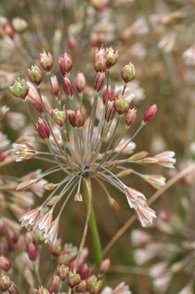 Allium lenkoranicum