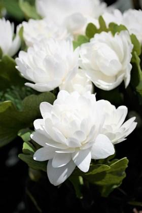 Sanguinaria canadensis flore plena