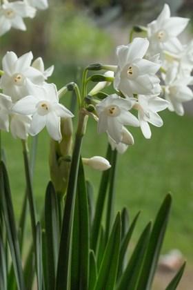 Narcissus Paperwhite Ziva (8)