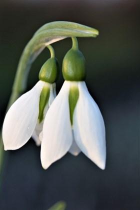 Galanthus Harewood Twin