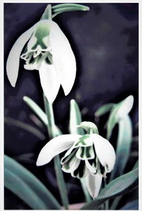 Galanthus Lola