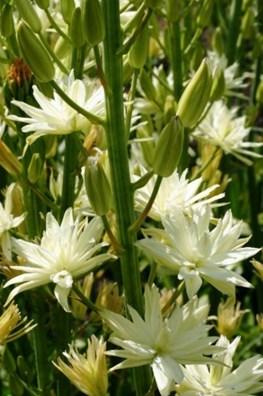 Camassia leichtlinii semi-plena