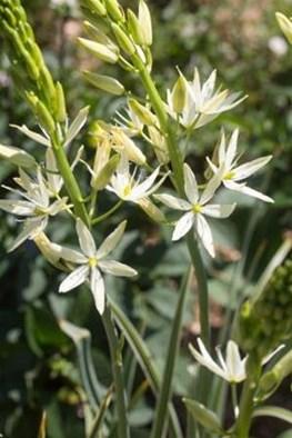 Camassia leichtlinii Sacajawea