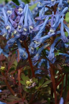 Corydalis flexuosa Blue Dragon