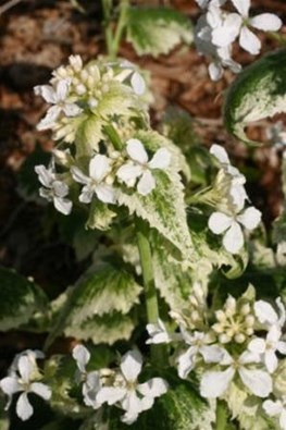 "Lunaria annua ""Alba variegata"" (Seeds)"