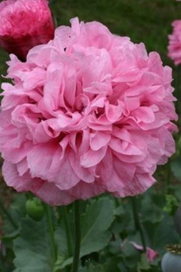 Papaver somniferum Double Pink (Seeds)