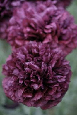 Papaver somniferum Double Shiraz (Seeds)