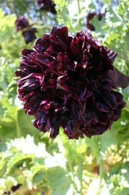 Papaver somniferum Double Black (Seeds)