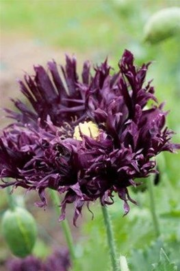 Papaver somniferum Blackcurrant Fizz (Seeds)