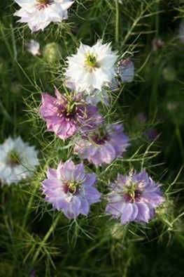 Nigella damascena (Seeds)