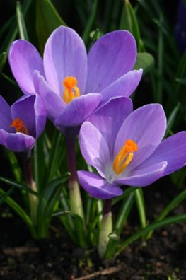 Crocus vernus Grand Maitre