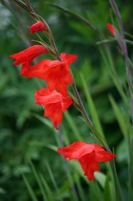 Gladiolus Mirella