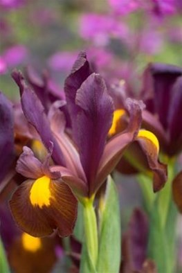 Iris x hollandica Red Ember