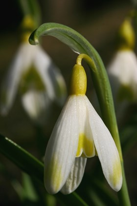 Galanthus Ecusson d'Or