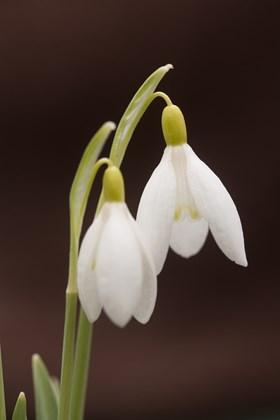 Galanthus Chthonic