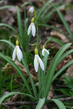 Galanthus June Boardman