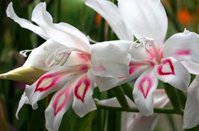 Gladiolus Nymph