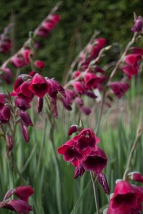 Gladiolus Ruby