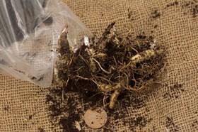 Polygonatum odoratum flore plena
