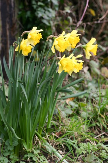 Narcissus Garden Varieties