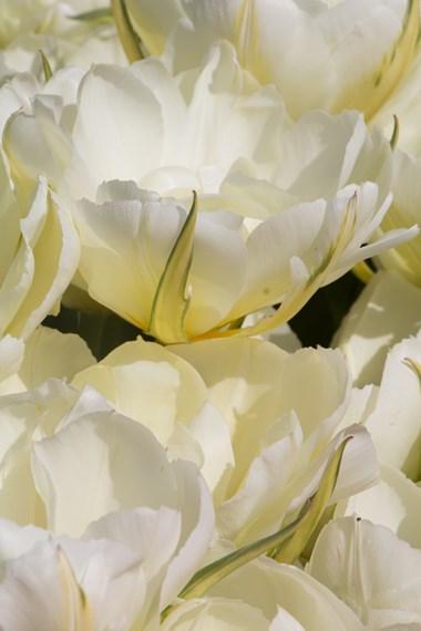 Fosteriana tulips