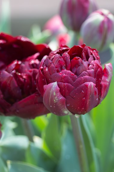 Double petalled tulips