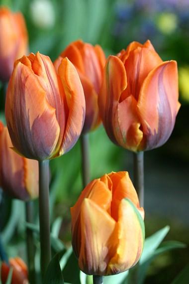 Tulips A to Z