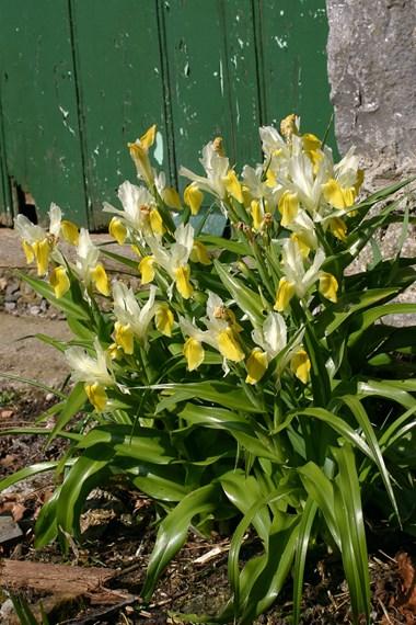 Iris (other types)