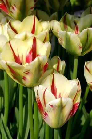 Viridiflora tulips
