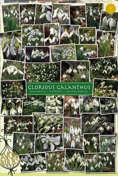 Galanthus Poster
