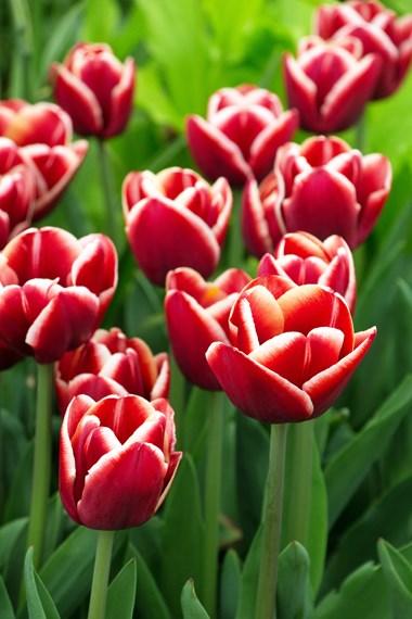 Midseason tulips