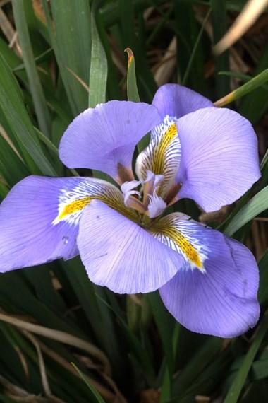 Iris unguicularis (stylosa)