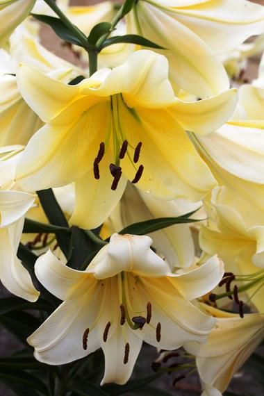 Lilium (spring planted)