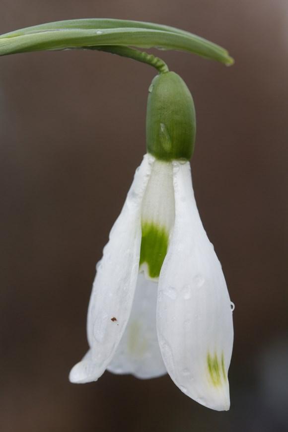 Galanthus David Baker