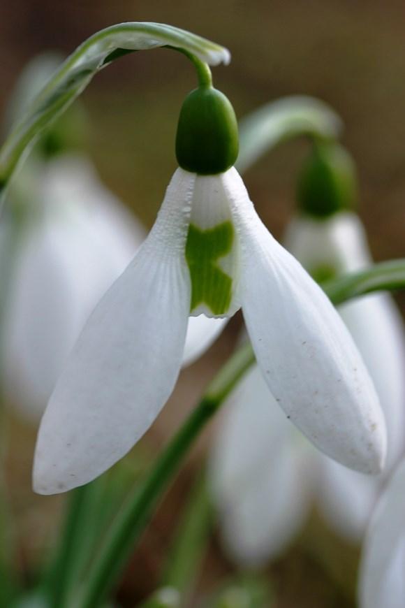 Galanthus Midwinter