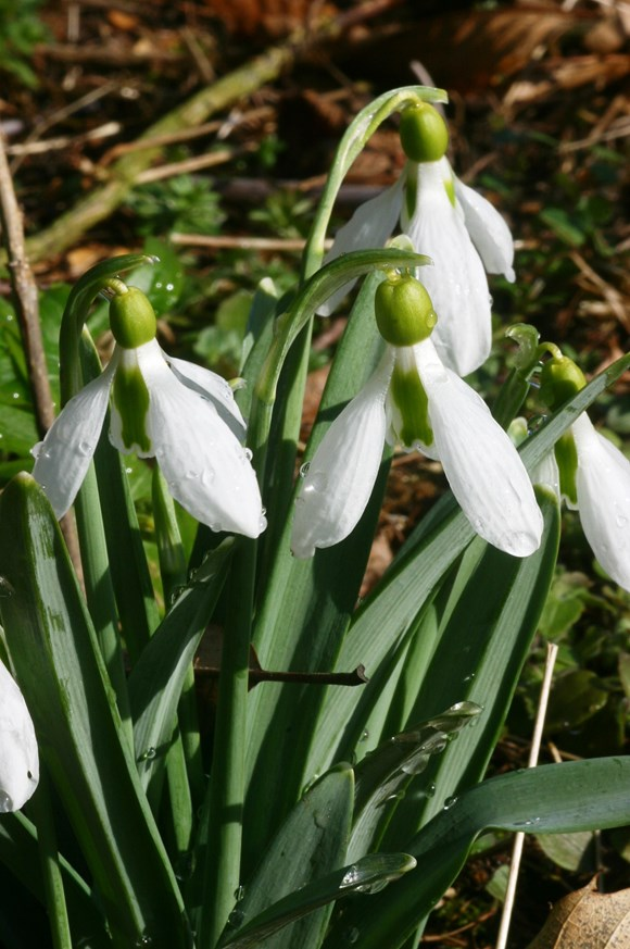 Galanthus Uncle Dick