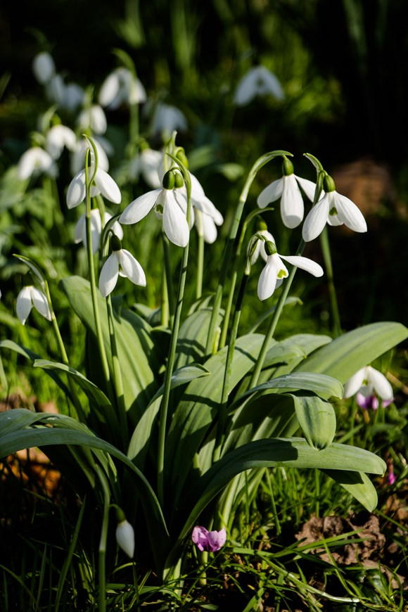 Galanthus Warwickshire Gemini