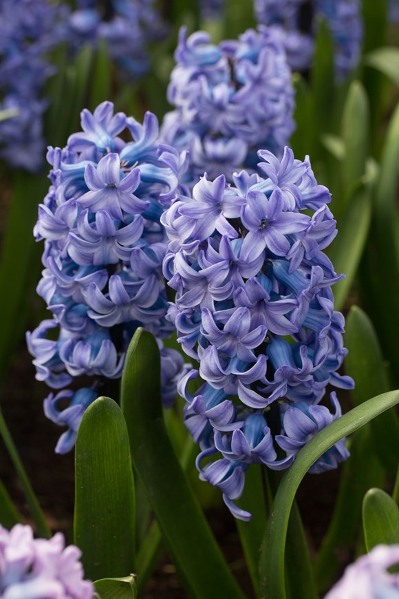 Hyacinthus Delft Blue (Prepared)