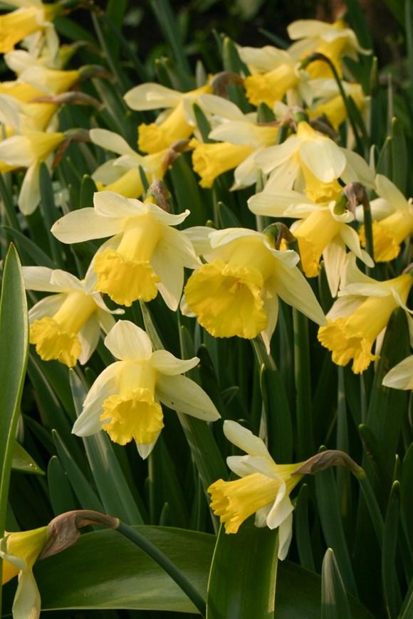 Narcissus Topolino (1)